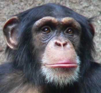 Chimps, Bonobos and Us Closest living relative of Homo sapiens? Easy. Chimpanzees, right? It might not be that simple. With the recent sequencing of the bonobo genome, the distinction between the two species is getting fuzzier, as is the question of who's a closer relative of humans. Bonobos are a small population of chimpanzee-like apes that live in a tiny pocket of the Congo. They themselves split off of the lineage of chimpanzees less than two million years ago after their population was cut off by the Congo river. Unlike the rather aggressive chimpanzees, who are far more widespread across Africa, bonobos are … well, rather less so. Bonobos look so much like chimps (the bonobo is on the right up above) that their behavior is one of the few ways to tell them apart. They are known to settle disputes through sex, the gender combination not always important, with the activity even completed while eating. Sex is their cultural currency. Don't believe me? Watch this. Chimps do no such thing, to their own recreational detriment. The sequenced bonobo genome only differs from the chimpanzee genome by 0.4% at the DNA level. That's within the normal variability of chimp genomes! So are they bonobos or are they chimps? How much of species separation is genetic and how much is behavioral? What, if anything in the small genetic difference leads to those huge behavioral changes? And if they are both so closely related, who is our actual closest relative? This is a debate that will continue. (via Ars Technica)