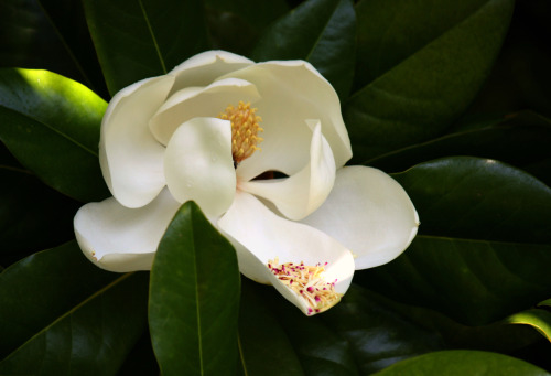 The magnolia is one of the very few things on earth I consider sacred. There's something so ancient and pure about them, but dark and rich. Stunning.