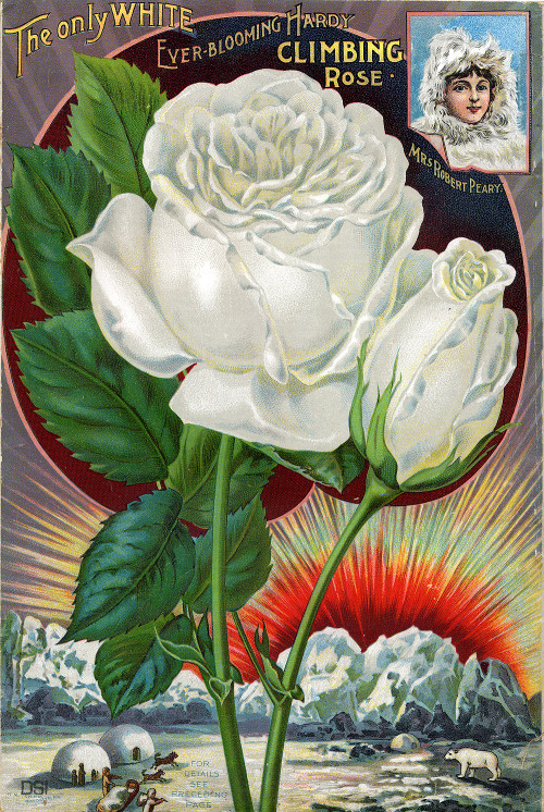 "From Dingee & Conard Co. Our New Guide to Rose Culture (1898) ""the only white every-blooming climbing rose"" — as white as snow…or polar bears? (via Smithsonian Institution Libraries : Back Cover SIL08-09514-b)"