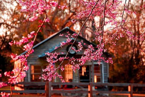 Cherry Blossoms, Richmond, Virginia photo via always