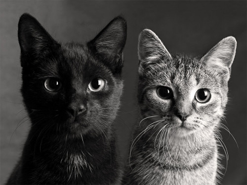 blua:  Cat Couple by AK-Photo