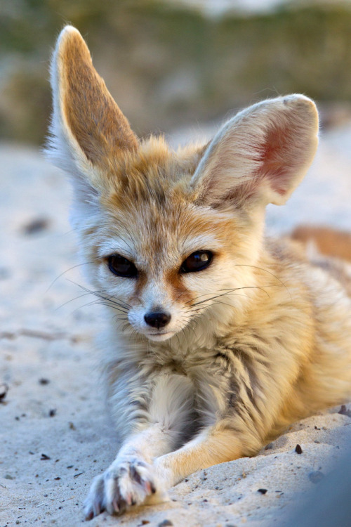 magicalnaturetour:  Cool Fennec Fox (Vulpes Zerda) (by asbimages.co.uk) :)