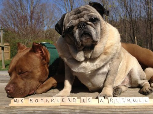 pugvenger:  seriouscuteness:  Can you tell we love pugs?  #PugLife  oh.my.god.  BLESS.
