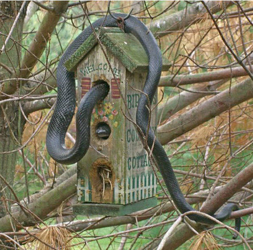 Snake in Bird House Well, it was nice having birds for a while at least.