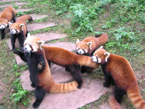 Ohmygoodness red pandas are so adorable!! If anyone who follows me doesn't like them, message me 'cause I need to check if you're crazy. :)