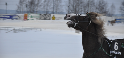 FinnhorseHarness racingSeinäjoki, Finland, 2012Copyright Reita Kööpikkä / tumblr: reitak——It was 22 ºC (71.6 ºF) and I was freezing more than the horses. I had only a leather jacket…