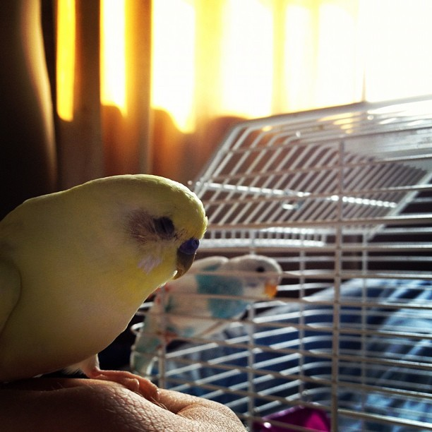 elfguts:  #dailybudge #budgies #newbudge (Taken with Instagram)  NEW BUDGE?!?!?! Awwwwww:)