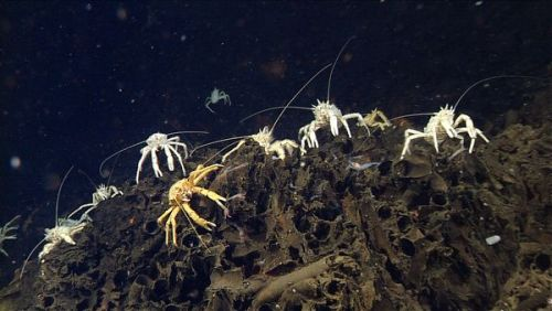 "rhamphotheca:  Newly Discovered Volcanic Sea Vents Crawling with Creatures by Ker Than Smoke-like columns of mineral-rich water rise from a hydrothermal vent—one of ten active volcanic vents recently discovered in the Gulf of California, the long, narrow body of water between Baja California and mainland Mexico. The vents are the first to be found in the region despite many years of searching. Scientists had suspected active vents existed in the gulf, due to the region's volcanic activity, but until now they'd been hard to track down. The new ""black smokers"" were found using sonar-equipped robotic submarines, which were deployed during the last leg of a three-month expedition by California's Monterey Bay Aquarium Research Institute (MBARI). The team has been using sonar vehicles to successfully locate new vents in the northeastern Pacific since 2006. On the latest excursion, sonar maps of the seafloor revealed the tell-tale structures of vent chimneys, showing the team just where to send its remotely operated vehicles (ROVs)… (read more: National Geo)       (photos: MBARI)"