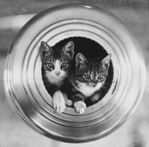 thedaintysquid:  The ship's cats, HMS 'Hawkins' by National Maritime Museum on Flickr.