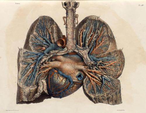 "biomedicalephemera:  Posterior view of arteries and veins of the heart and lungs The coronary sinus is clearly visible, as the largest vein on the body of the heart. ""Coronary"" means ""crown"", so if one thinks of the heart as a head, anything labeled ""coronary"" likely goes around it in a somewhat-encircling fashion. The anterior cardiac veins drain directly into the right atrium, but the majority of the other cardiac veins (excluding some of the smallest), including the great cardiac vein, drain into the coronary sinus. The junction between the right atrium and the coronary sinus is marked by the Thesbian valve. Traité complet de l'anatomie de l'homme comprenant la medecine operatoire, par le docteur Marc Jean Bourgery. Illustration by Nicolas Henri Jacob, 1831."