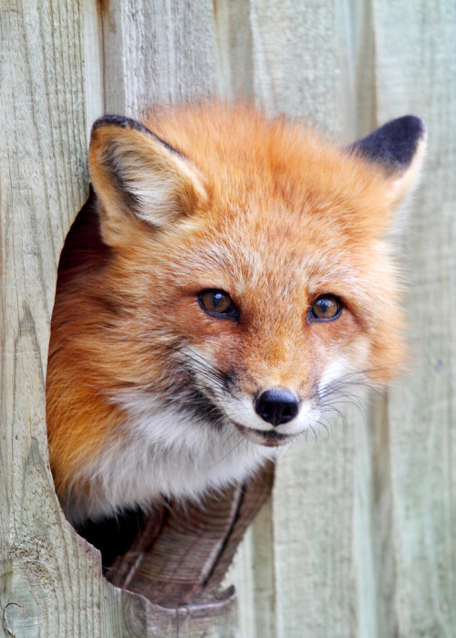 llbwwb:  Fox Hole (by Jim Cumming)