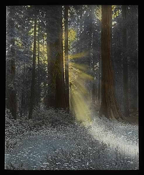 mohai:   Sun Shining in Forest, No Date Clise Collection Photographer: Unknown Image Date: No Date Image Number: 1980.7158.2.11 To order a reproduction or to inquire about permissions contact us on our website or phone us at 206-324-1126. Please refer to the Image Number and provide a brief description of the photograph. Original Article
