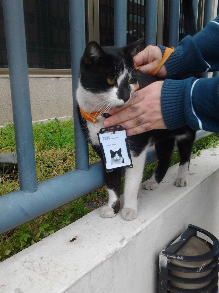 This cat hangs around the IBM offices all the time. Now the employees made him a badge!