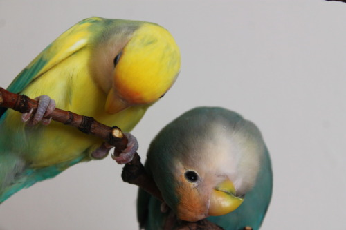 bird-fix:  Peach Faced Lovebird Mutations