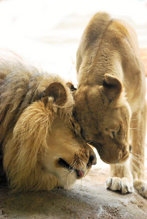 thelustfulwizard:  Always reblog lions!
