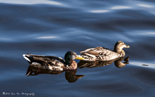 Ducks on the Saugatuck River, Westport, CT