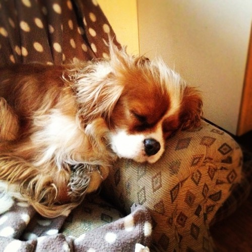 Sleepy doggy #barney #bdog #dog #woof #kingcharlescavalier #kingcharles #spaniel #instapet #iphone #instagram  (Taken with Instagram)
