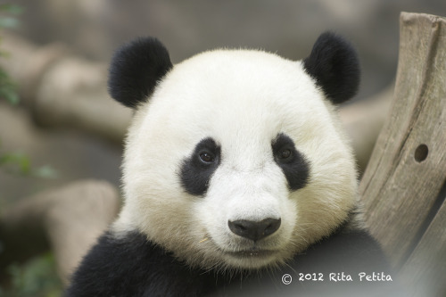 fuckyeahgiantpanda:  Yun Zi at the San Diego Zoo on June 15, 2012. © Rita Petita.
