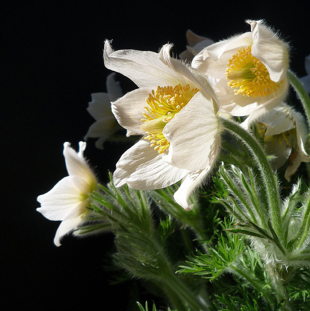 anémones pulsatille blanches by peltier patrick on Flickr.