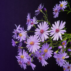 asters by peltier patrick on Flickr.