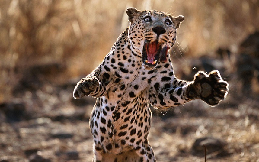 Wildlife photographer Steve Bloom captured this image of a leopard leaping in Namibia. His dramatic images, taken over a period of ten years, have now been compiled to form a new children's book entitled My Big Cats Journal (Thames & Hudson).Picture: STEVE BLOOM / CATERS NEWS