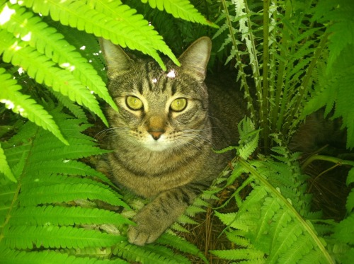 "Missing Cat Found Alive in Amazon Rainforest An Atlanta, GA cat named Kili, who has been missing for three years, was found alive in the Peruvian rainforest on Sunday. Rescuers identified the kitty by his distinct markings. ""We've been following his trail since 2009,"" says Darren Cassidy of the Pet Rescue Network. ""Seems he chartered a boat from Florida, landed in Brazil and headed into the Amazon from there."" Kili was in fine health, according to Cassidy. ""His survival skills are excellent. We found a little hut made from vines and canopy leaves. There was plenty of food, too. He didn't really want to leave."" Submitted by Mary Virginia Gage."
