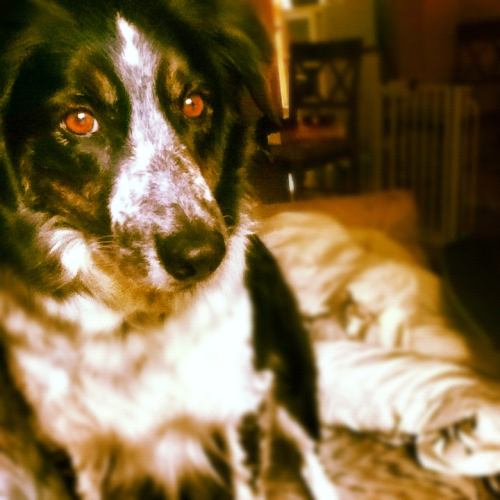 My border collie java