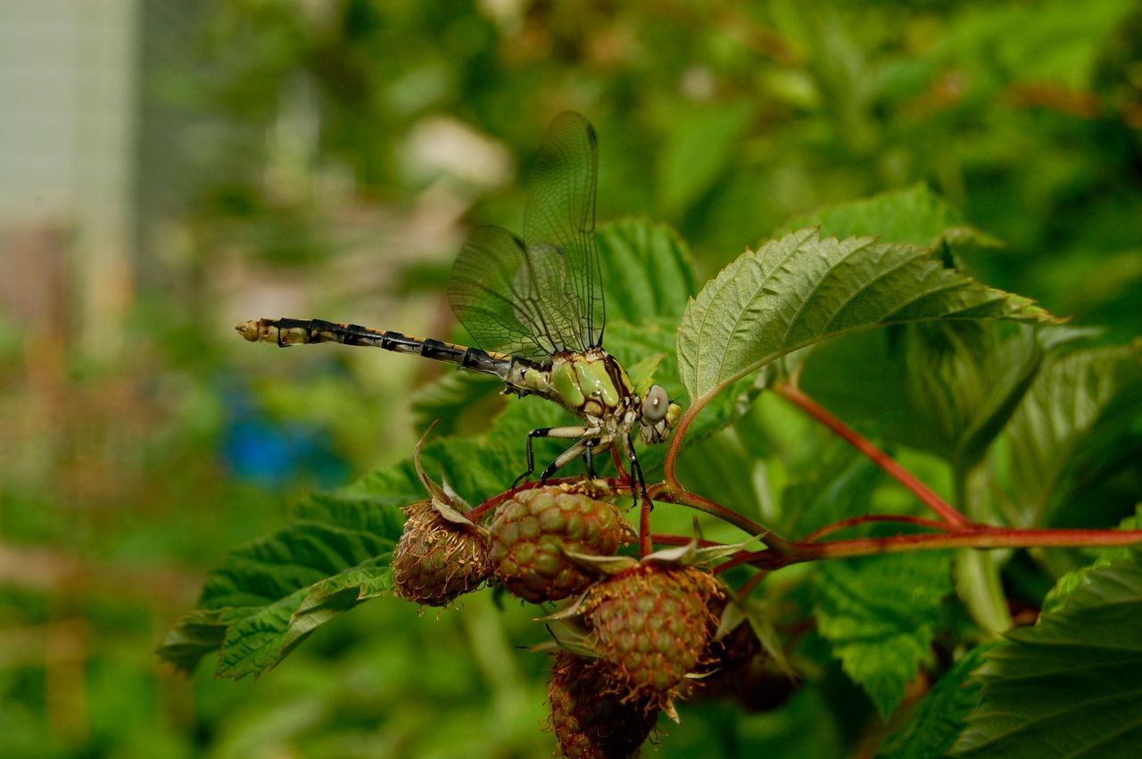 The wild backyard garden. Dragonfly and unripe rasberries.