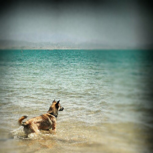 He is so #handsome ^_^ #beautiful #puppy #lake #water #ocean #shepherd #germandshepherd #Belgian #belgianshepherd #cub #child #baby #hunter #hunting #lalemead #lasvegas #gay #lesbian #love #lgbtq #dog #k9 #policedog #gorgeous  (Taken with Instagram)