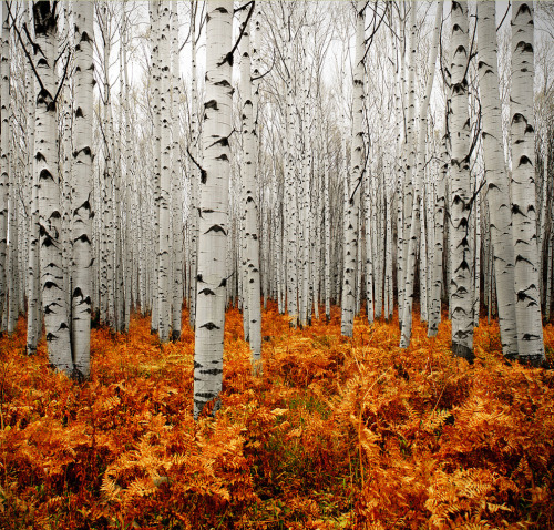 Aspens, Colorado