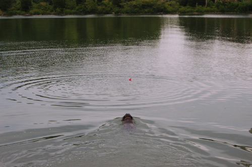 Henley Labrador Swimming After Her Angry Bird Today At The Melton Lake Greenway Near Oak Ridge, TN