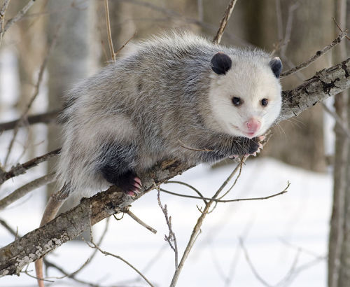 "Living Fossils - Opossum Let's talk about these little garbage diggers. I, personally, think they are quite cute, when they aren't all hostile or splattered on the road.  Opossums, commonly and wrongfully referred to as possums, are omnivorous marsupials of the western hemisphere. The Virginia Opossum (pictured above) was the first to be named an opossum, it's name comes from the Virginia Algonquian word aposoum, meaning ""white dog,"" or ""white beast/ animal.""  They belong to the Family Didelphidae, in the order Didelphimorphia, which are marsupials that are about the size of a house cat at the largest, and at the smallest, about the size of a mouse. They tend to be partially arboreal and, again, omnivorous, though there are always exceptions. Most have long snouts and a narrow braincase, along with a prominent sagittal crest. They are plantigrade, and have an opposable digit on their hind feet with no claw. They have prehensile tails, quite like lemurs. Like all marsupials, the females have a pouch, and all of their fur is made up of awn hair.  Pictured Above: Virginia Opossum (Didelphis virginiana) By Cody Pope (Wikipedia:User:Cody.pope) [CC-BY-SA-2.5 (http://creativecommons.org/licenses/by-sa/2.5)], via Wikimedia Commons"