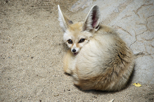 "sdzoo:  Fennec fox by leanne.black on Flickr.  I think I hear it singing the theme from ""Green Acres."" You just *know* this thing would adore a penthouse view."
