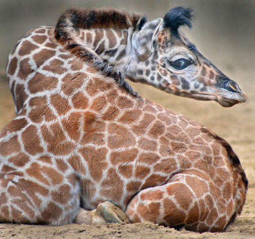 sdzoo:  Giraffe dodger by Stinkersmell on Flickr. How many heart-shaped spots can you find?
