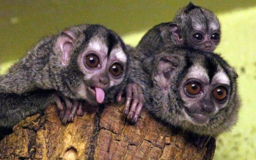 theanimalblog:  A baby douroucouli - also known as a night monkey - has been born at Edinburgh Zoo to parents Delzi and Meta.  Picture: HEMEDIA  omg, the baby. it's ugly and yet so cute at the same time.
