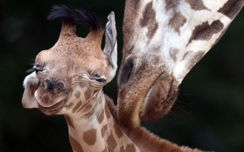 theanimalblog:  A newborn giraffe calf is groomed by its mother Shahni at the zoo in Hanover, western Germany.  Picture: JOCHEN LUEBKE/AFP/GettyImages