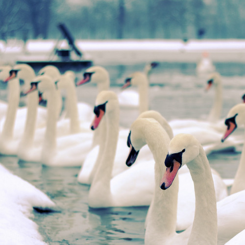 hardattrying:  Swans on Flickr.