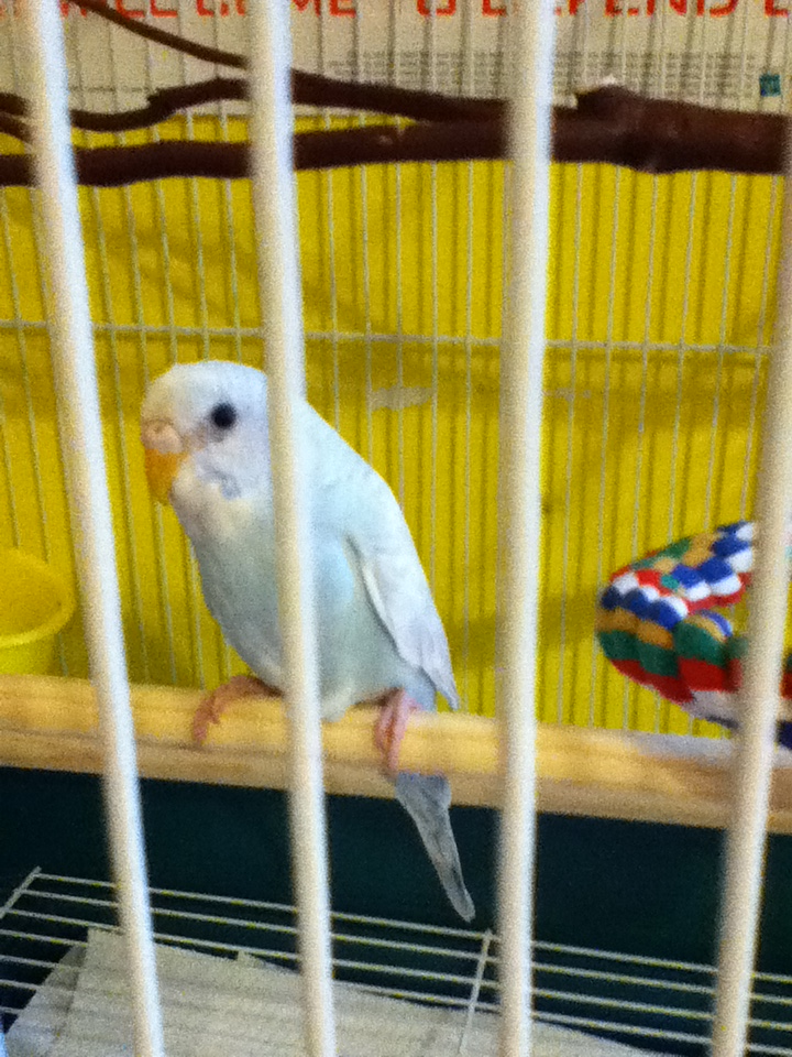 My new budgie. :) I think I'll end up naming it Ariadne if it's a girl.
