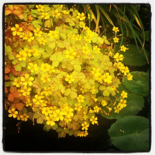 Pond flowers (Taken with Instagram)