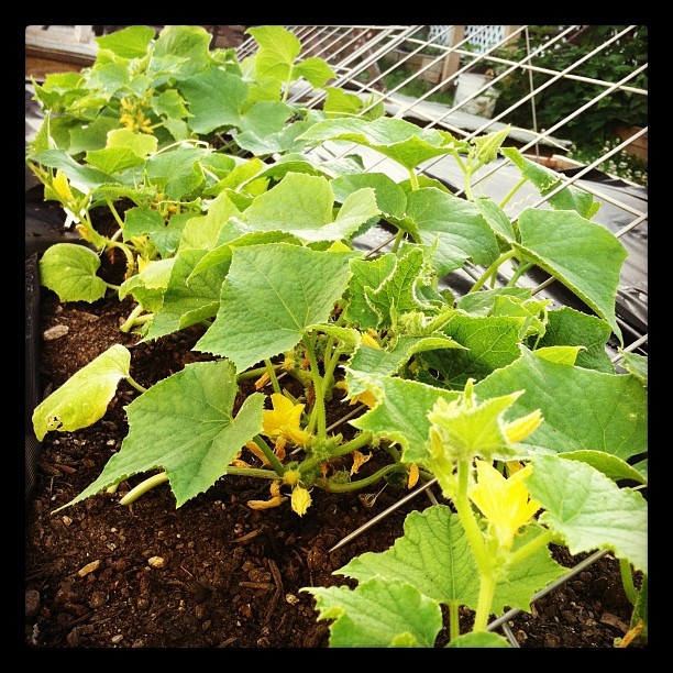 #cucumber plants slowly making their way up the trellis  (Taken with Instagram)