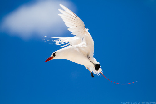 Red-tailed tropic bird photographed by Dallas Nagata White at 70th anniversary of the Battle of Midway Also a Hawaiian monk seal!  Taps is played in front of a field full of Laysan albatross chicks.