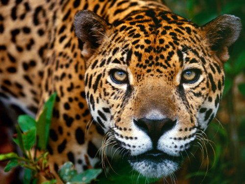magicalnaturetour:  Jaguar by Holly Makal :)