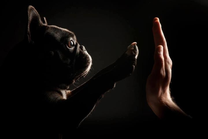 dailyfrenchie:  High five pup!