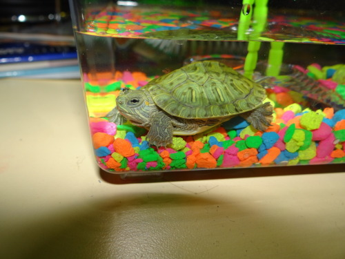 This one of my turtles doesn't have a name yet so when you reblog suggest one!(: