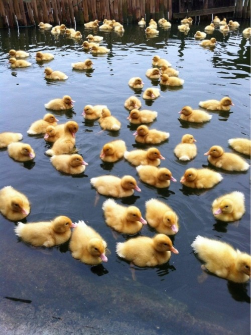 Baby Ducks | Cutest Paw