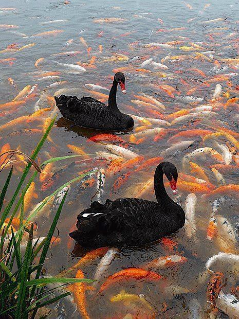 Black swan swimming with the fish bu Rue0