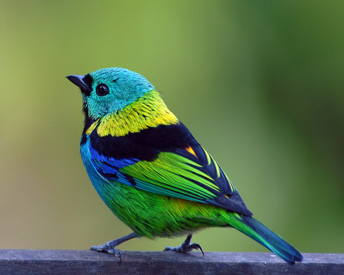 fat-birds:  birdblog:  Green-headed Tanager (Tangara seledon) by Frank Shufelt on Flickr.  come to me you precious baby