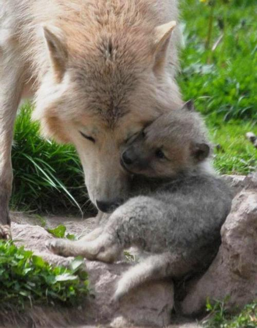 llbwwb:  Arctic Wolf and Young at the Monde Sauvage Safari Park, Belgium, photo by Ulli J.