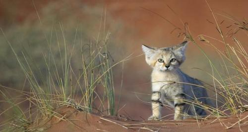 Young sand cat in United Arab Emirates by  Xavier Eichaker
