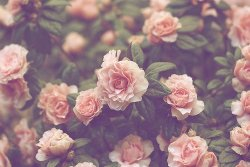 photography pretty flowers pink nature roses plants